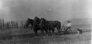 Stone Farm west side of Five Points; Chauncey Stone plowing; photo c. 1915.