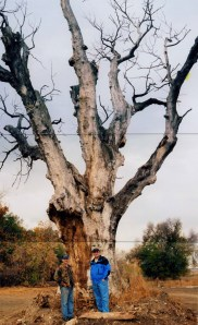 2005 view of Indian Tree before it was cut down; site is 145 Century Dr.