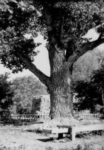 1968 view of Indian Tree;  the Indians once hung their meat in the tree to dry; photo Dave Montgomery.